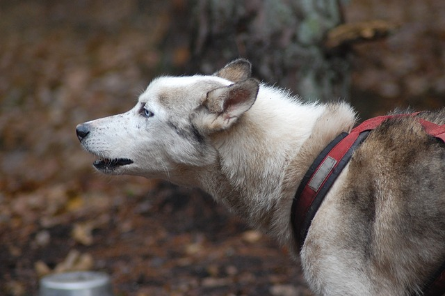 un chien faisant du canicross