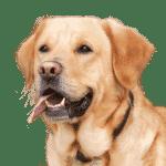 Race de chien : Liste de toutes les races canines existantes