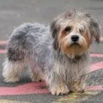 Dandin Dinmont Terrier