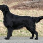 Float Coated Retriever