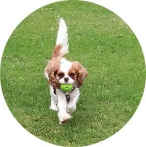 le chien jodie qui court dans l'herbe