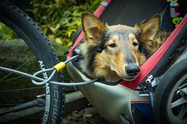 un chien dans une remorque à vélo