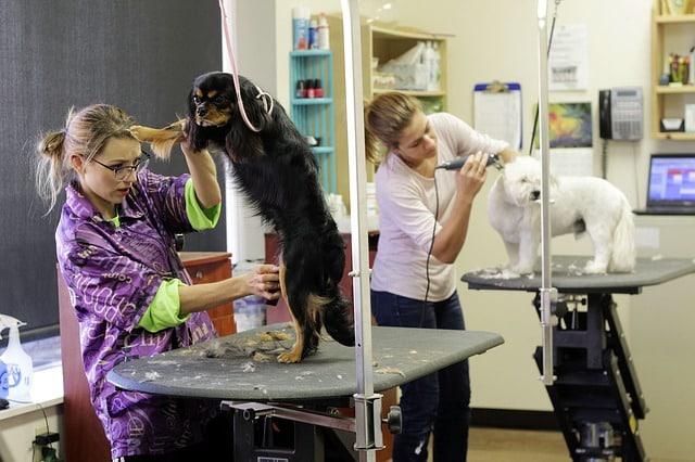 des femmes utilisant des tondeuses pour chien