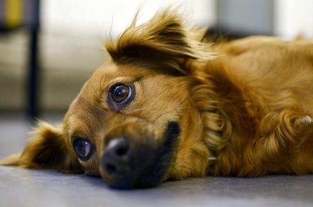 un chien communiquant avec ses yeux