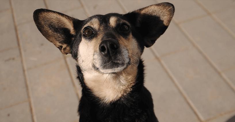 un chien avec de grandes oreilles