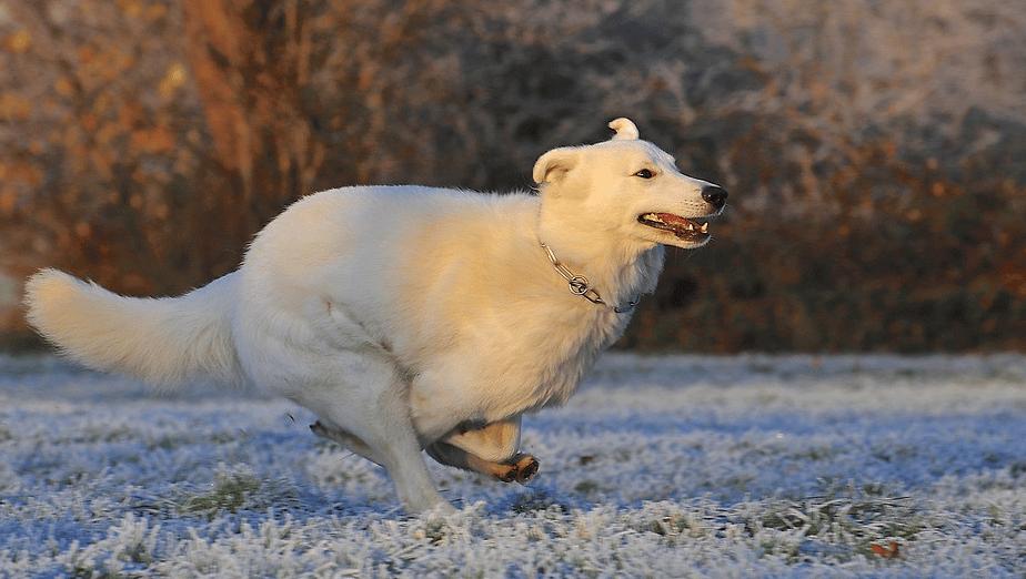 un chien sans laisse de canicross