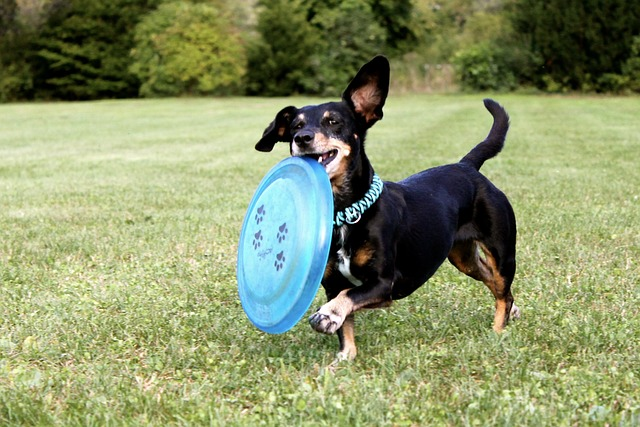 un petit chien jouant avec un frisbee