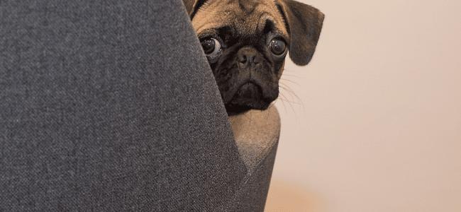 un carlin avec de belles oreilles
