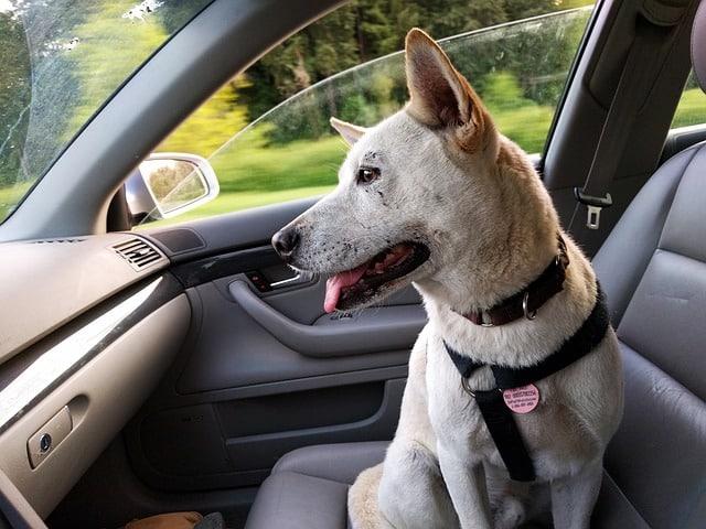 un chien sans siège auto