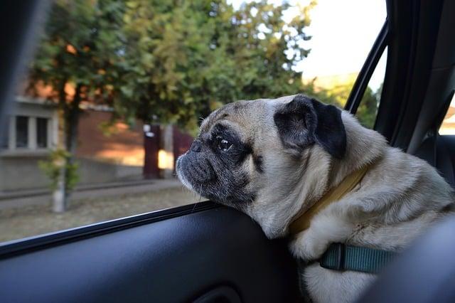 un carlin assis dans la voiture sur une protection