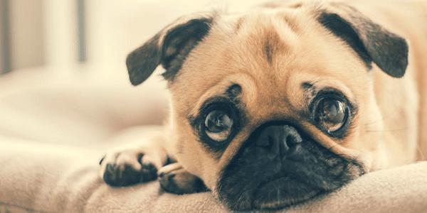 regard de chien après une bêtise
