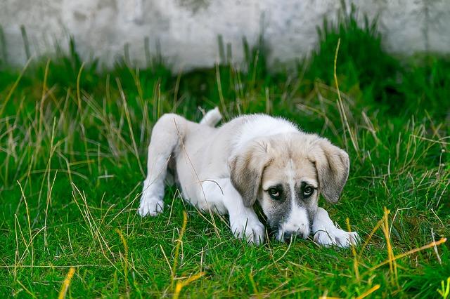 chien couché dans l'herbe