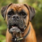 Mon chien a mangé du chewing-gum : Que dois-je faire ?