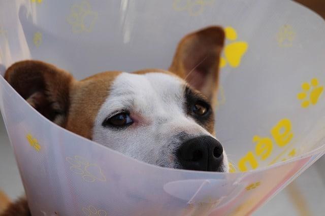 un chien blessé qui pourrait mordre
