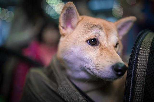 un chien dans un avion avec sac de transport