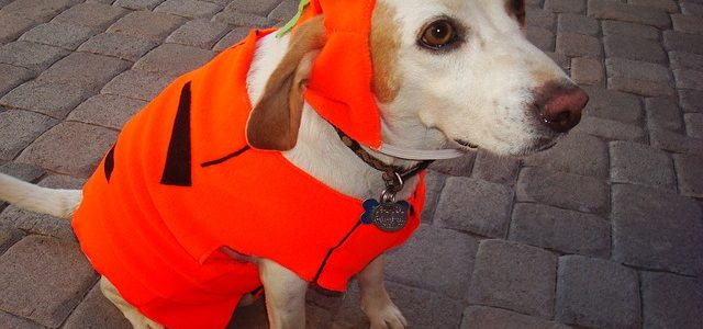 chien avec costume de citrouille