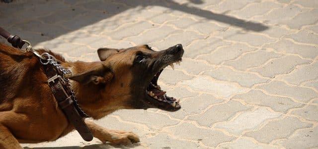 un chien prêt à attaquer
