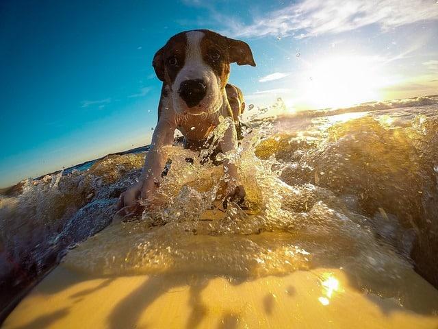 un chien qui fait du surf