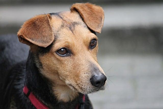 un chien avec un collier de dressage