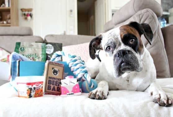 un bulldog avec sa woufbox