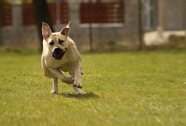 chien risquant la torsion de l'estomac