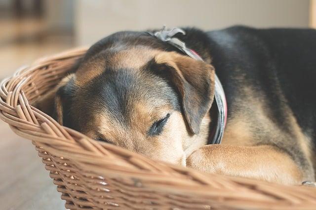 un chien dans un panier orthopédique