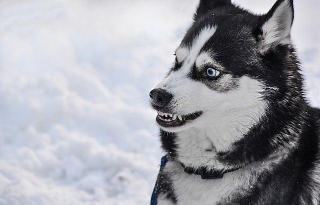 un chien montrant ses dents