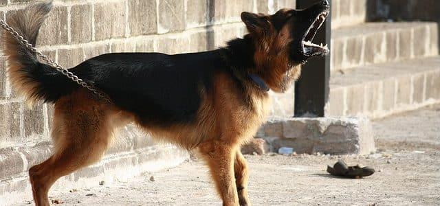 aboiements d'un berger allemand