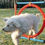 chien sur parcours agility