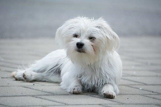 brossage d'un chien avec de longs poils
