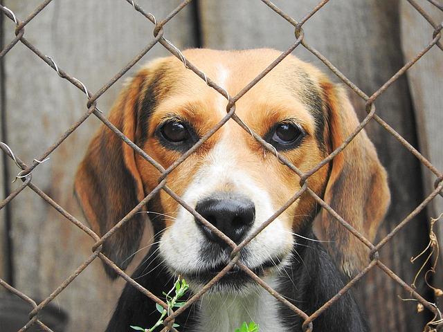 un beagle dans un chenil