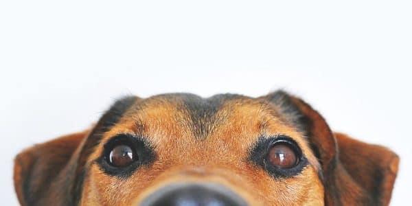 un chien incontinent