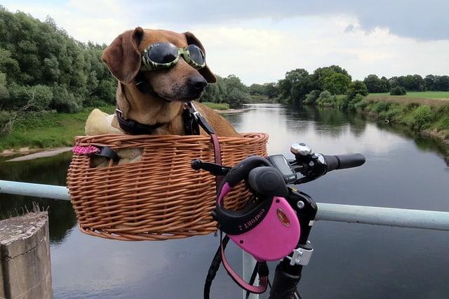 un chien dans un panier vélo en osier