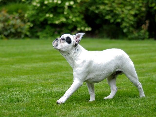 un chien qui hume l'air avant de faire caca