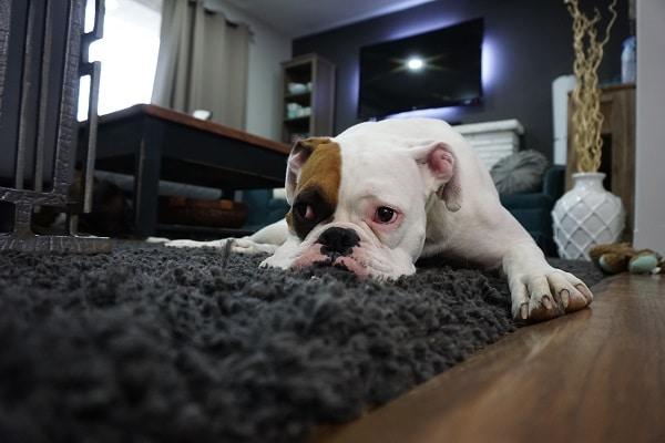 un chien qui est sur un tapis