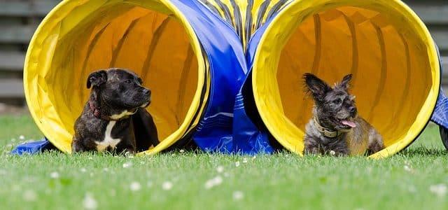 deux chiens sortant d'un tunnel agility