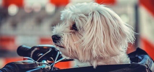 un chien dans son panier à vélo