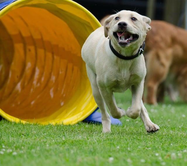 chien sortant d'un tunnel d'agility
