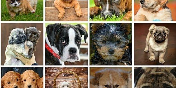 différentes races de chien