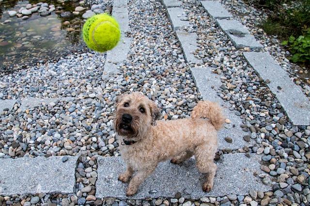 chien jouant avec une balle de tennis