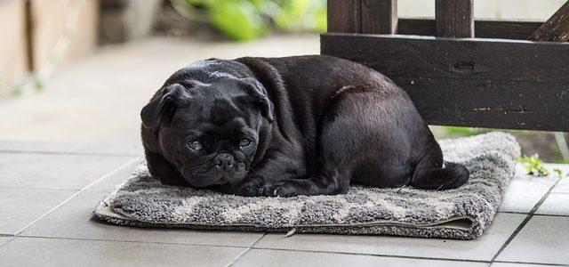 une chienne en chaleur
