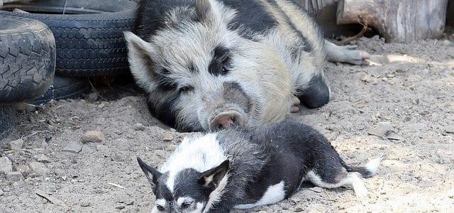 un chien avec un cochon