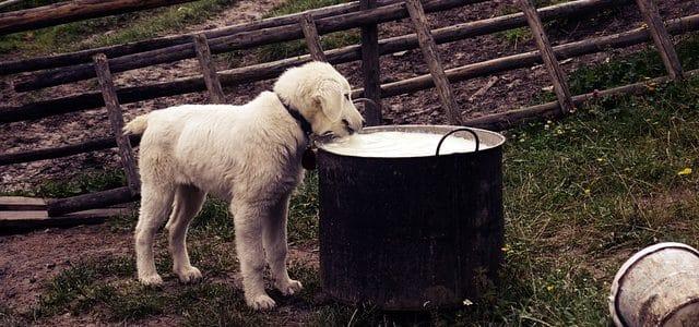 mon chien boit du lait