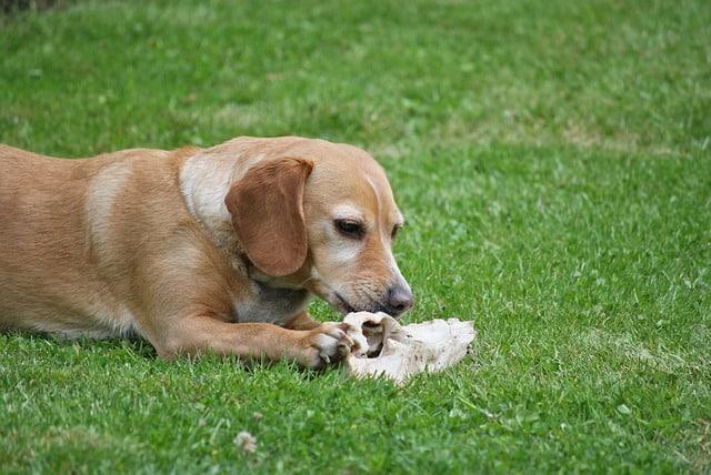 un chien qui mange un os