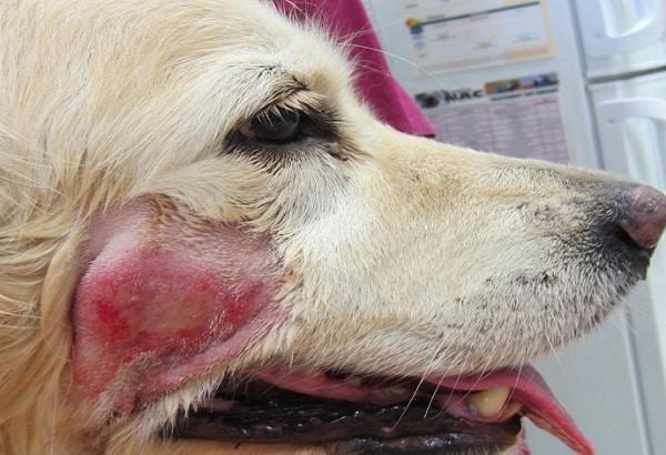 chien avec dermatite