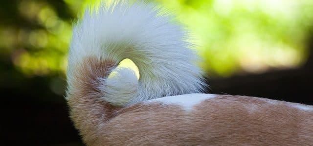 une queue de chien