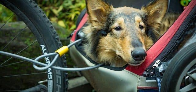 un chien dans sa remorque de velo