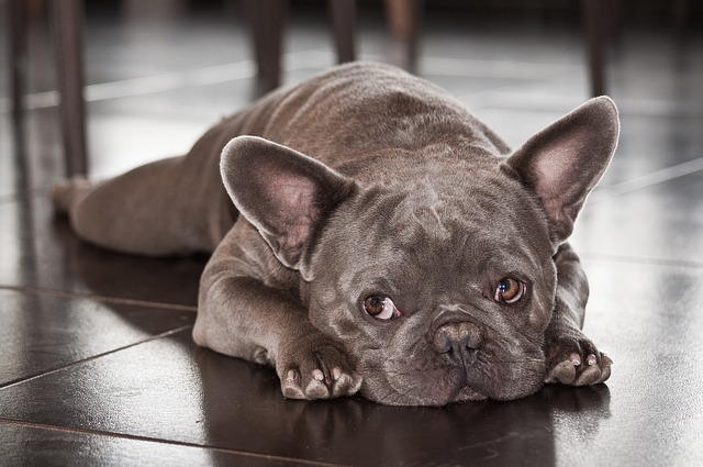 chien malade sur le sol
