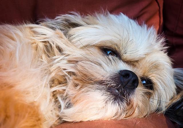 une chienne fatiguée