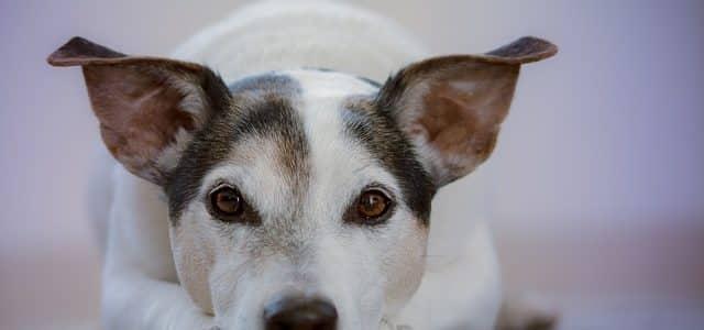 chien qui a les yeux qui coulent